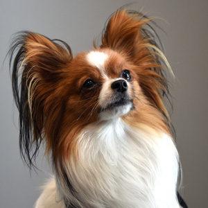 Brutus Henri, Resident Therapy Dog